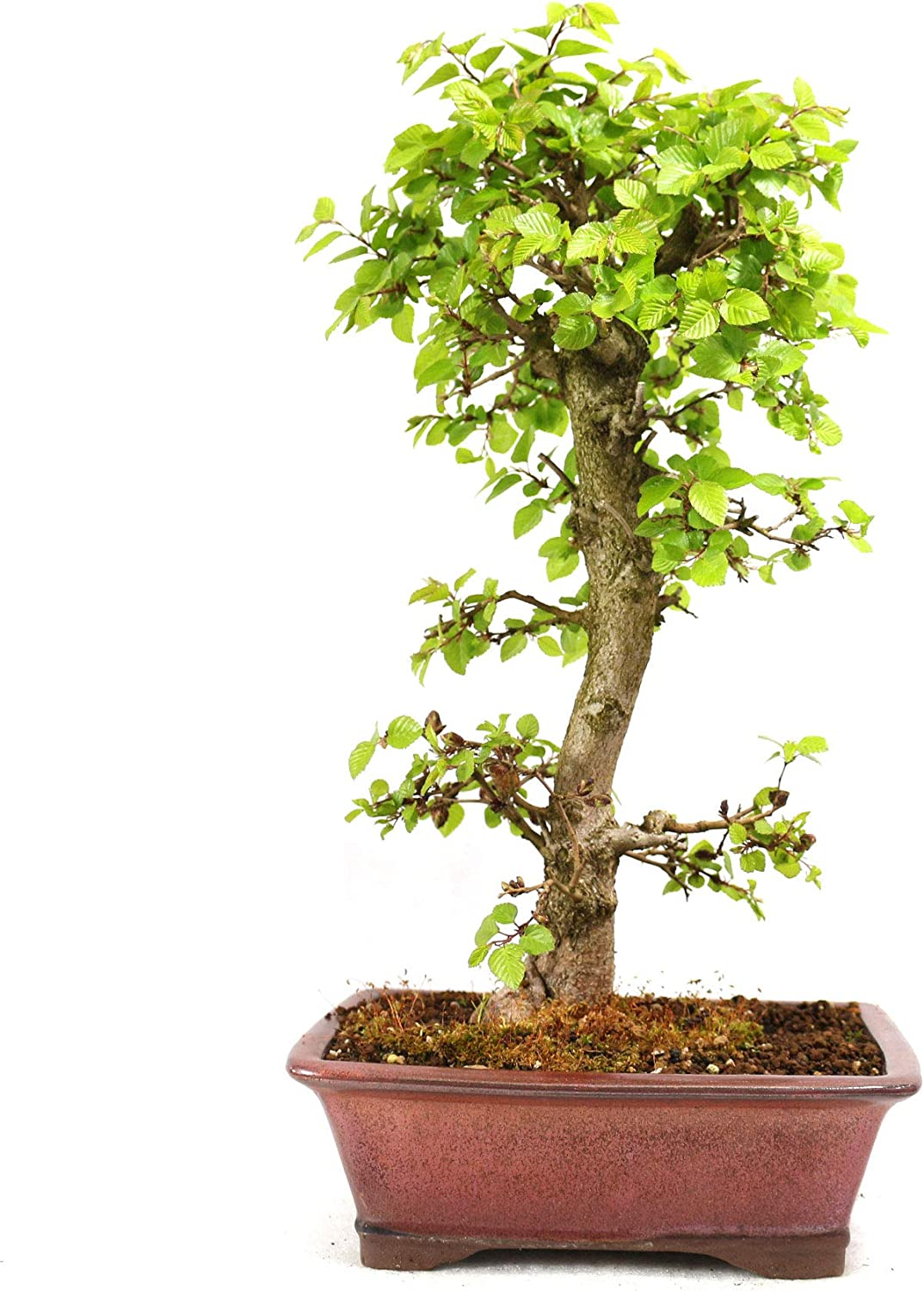 Japanese Hornbeam Carpinus Laxiflora Outdoor Bonsai 16 Years Height 39 Cm Amazon Co Uk Garden Outdoors