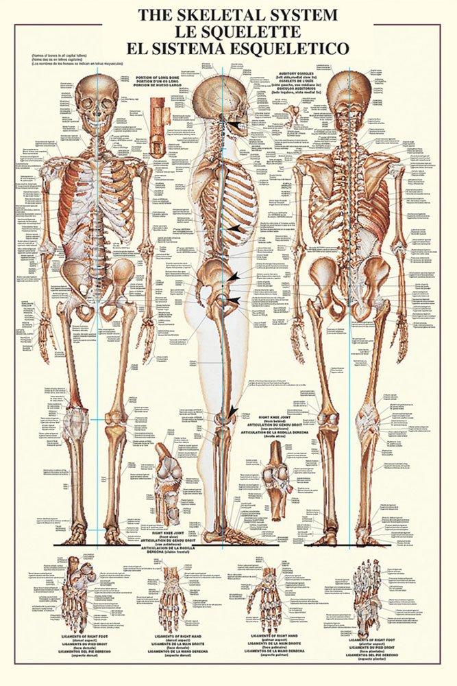 Amazon Empireposter Educational Bildung The Skeletal