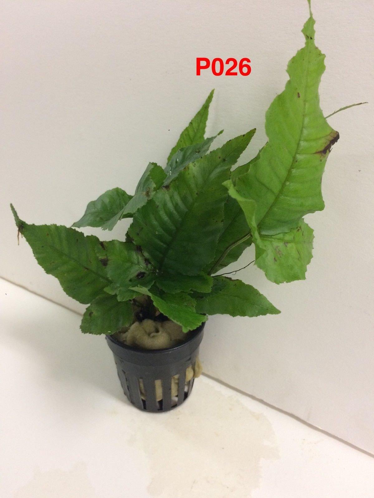 Exotic Live Aquatic Plant Bolbitis asiatica / heteroclita Potted P026