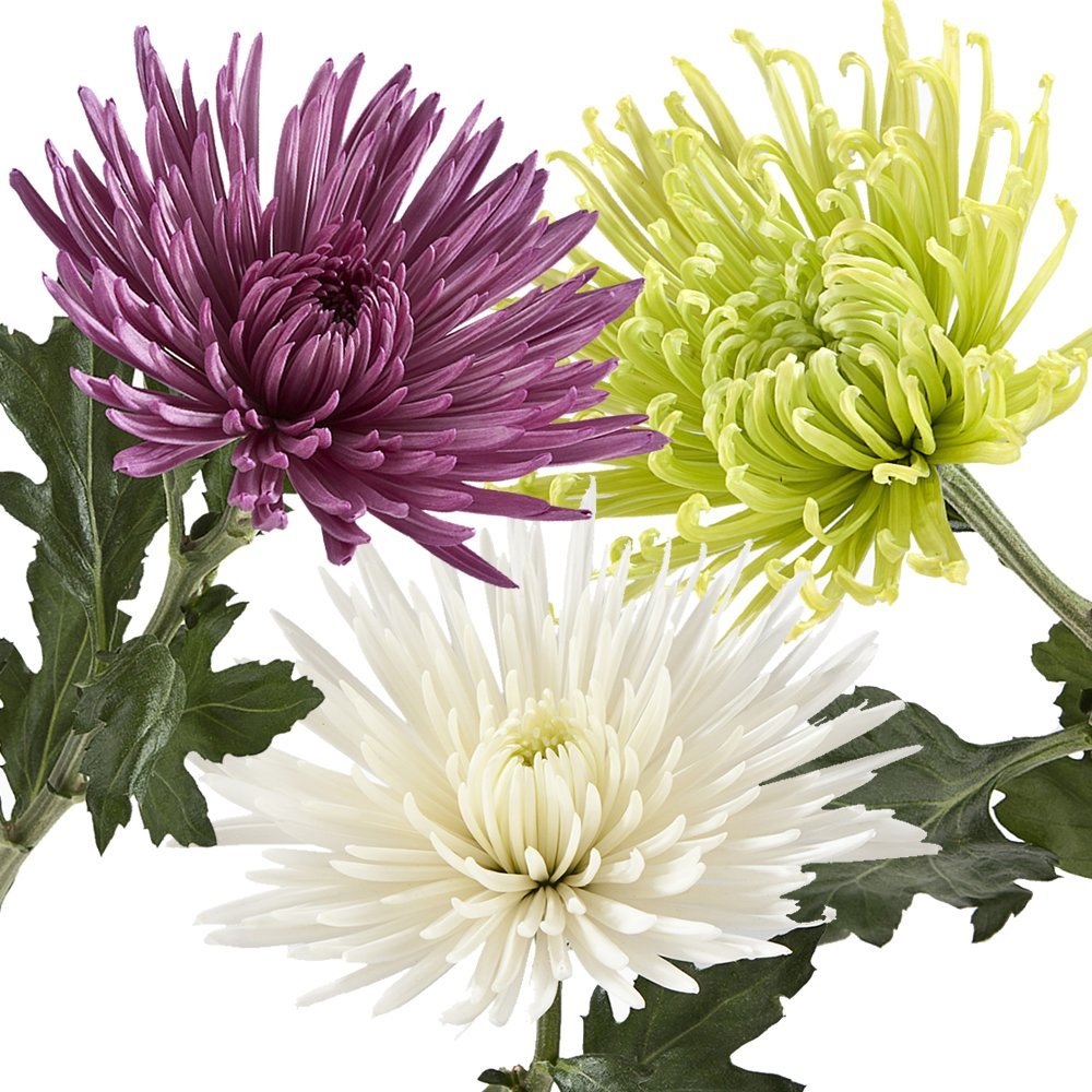 eFlowy - 100 Assorted Spider Mums (Chrysanthemum) Wholesale Fresh Cut from the Farm