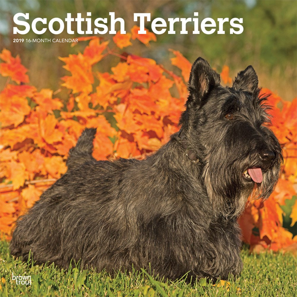 Scottish Terriers 2019 Square Wall Calendar (Multilingual) Calendar – Wall Calendar, 1 Sep 2018 BrownTrout 1465099832 Animal Care Pets