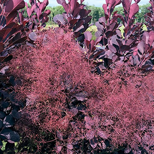 Royal Purple Smoke Tree (smokebush) - Live Plant - Quart Pot