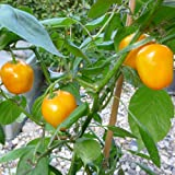 10 Samen Rocoto Canario Chili – mehrjähriger Baumchili