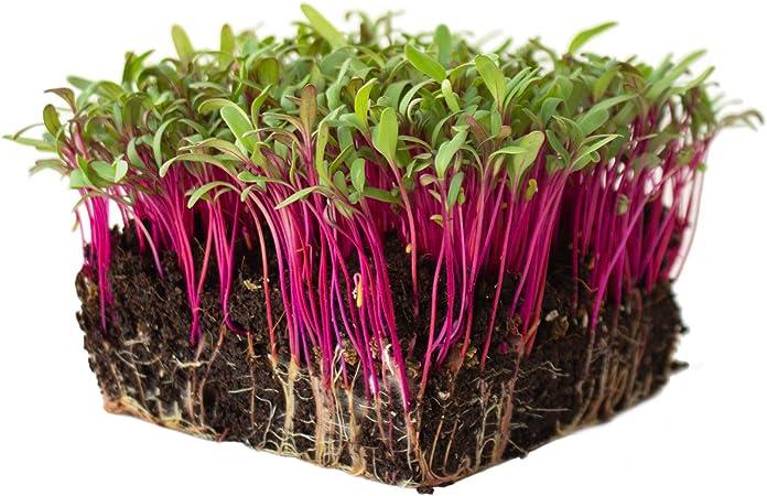 GROWING MICROGREENS HEIRLOOM NON-GMO DETROIT DARK RED BEET GARDEN SEEDS