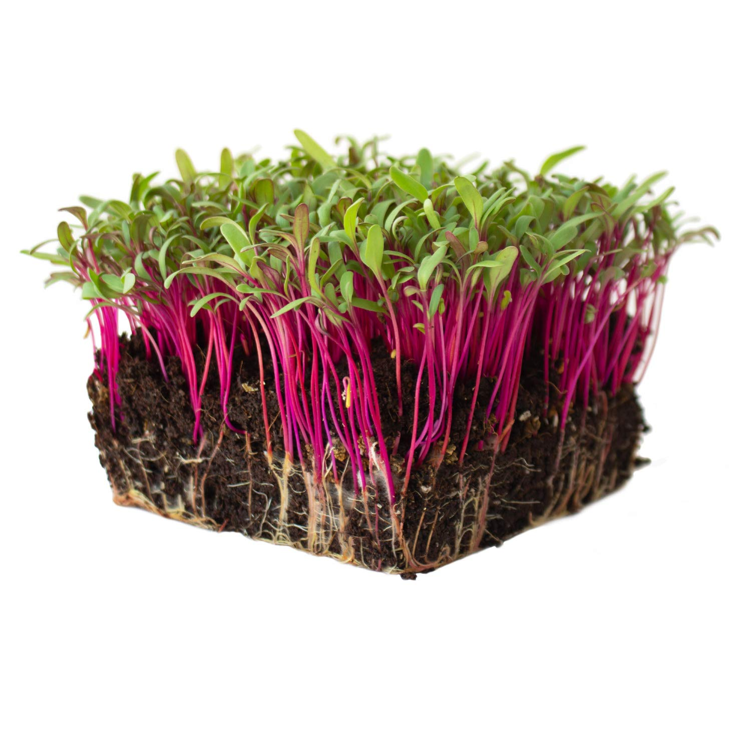 Bulls Blood Beet Seeds - 1 Lb - Non-GMO, Heirloom - Vegetable Garden, Microgreens Seeds by Mountain Valley Seed Company