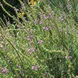 3 Bareroot Plants of Perennial Shrubby Wallflower Erysimum. Mauve Flowers with Shrubby Habit