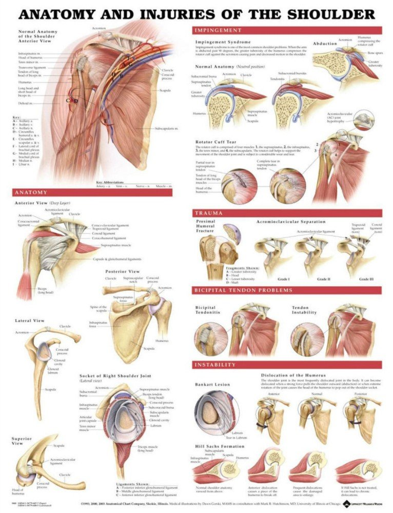 Amazon.com: Anatomy and Injuries of the Shoulder Anatomical Chart ...