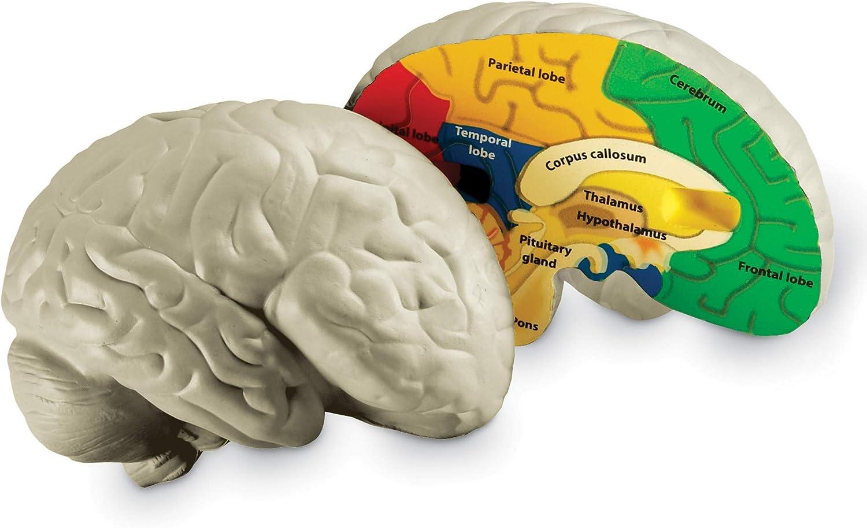 Learning Resources- Modelo del encéfalo de Espuma Blanda con sección Transversal, Color (LER1903)