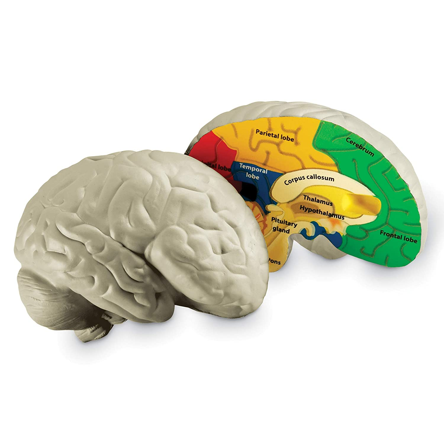 Learning Resources Soft Foam Cross Section Brain Model Amazoncouk Toys Games