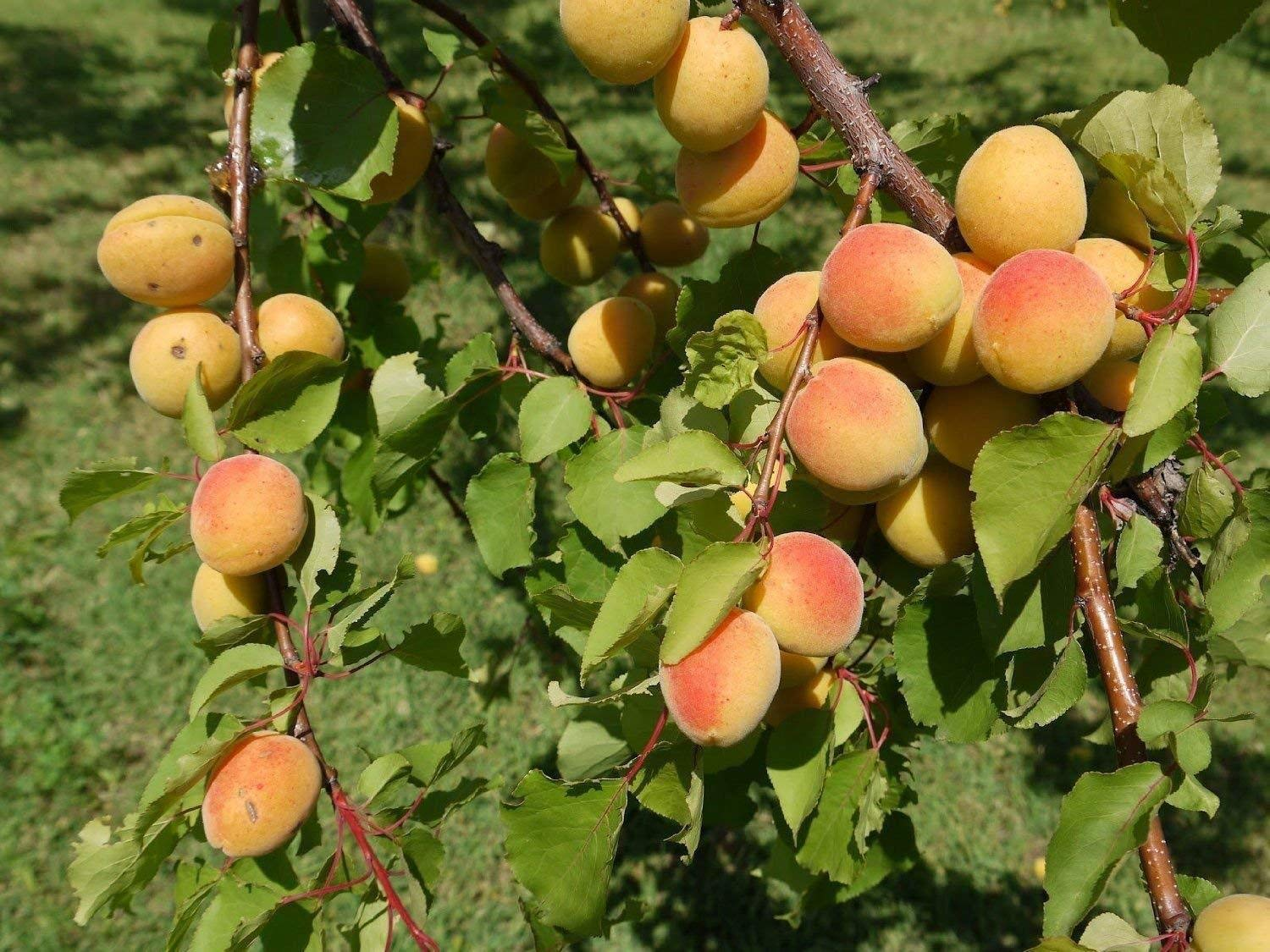 1 Dwarf Golden Apricot Tree 18-24 INCH Flowering Fruit Trees Sale Today only