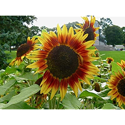 Dwarf Red Giant Sunflower Seeds (20 Pack) Exotic Red Sunflower, Multiple Heads per Plant - Very Eye Catching, Autumn Beauty : Garden & Outdoor