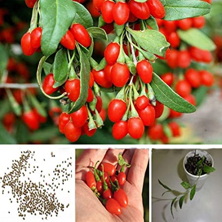 Amazon Com Seeds For Goji Berry Lycium Chinense Wolfberry