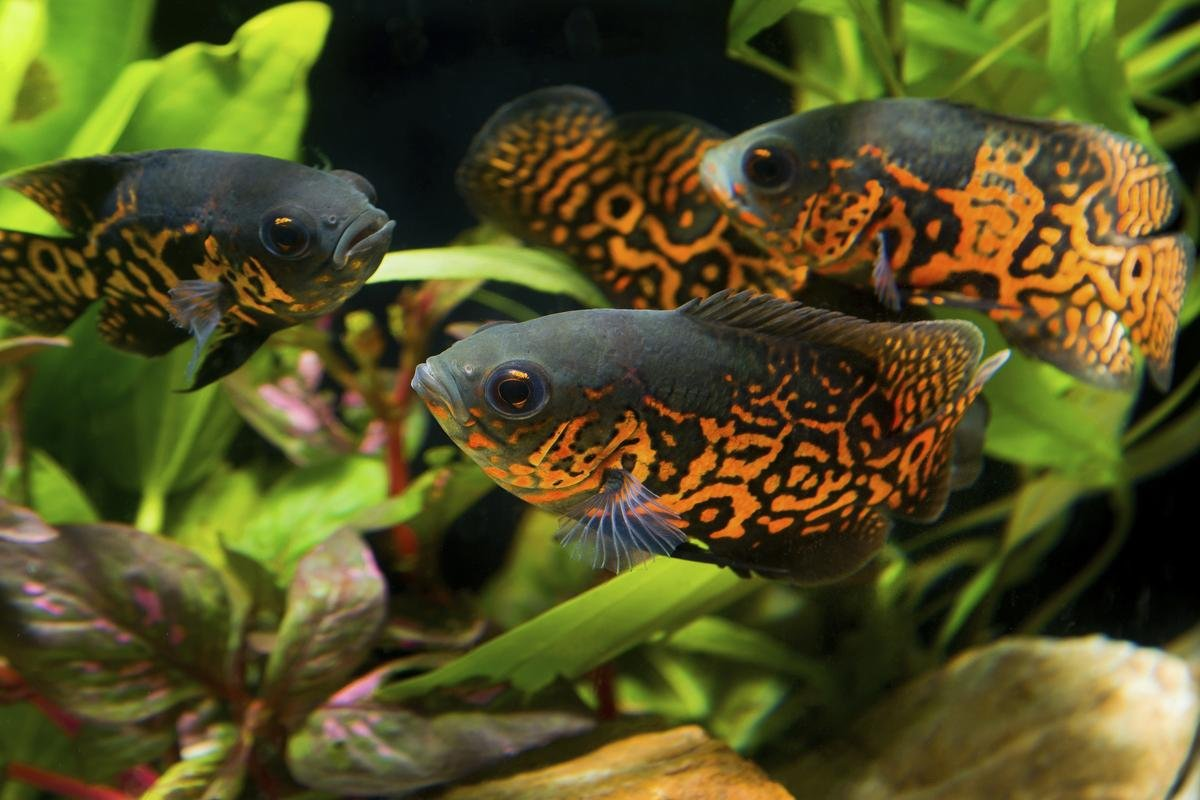 Amazon Com Nationwide Fish Live Tiger Oscar Cichlid Freshwater