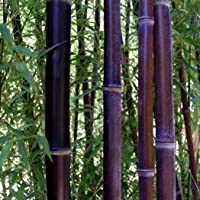 Soteer Seed House - Bamboo Gigante China Moso Bamboo (Phyllostachys edulis/pubescens) Semillas ornamentales de invierno…