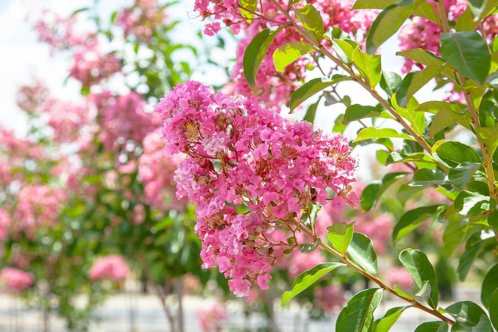 Miami Pink Crape Myrtle Tree - 2-4 Feet Tall - Full Gallon Pot