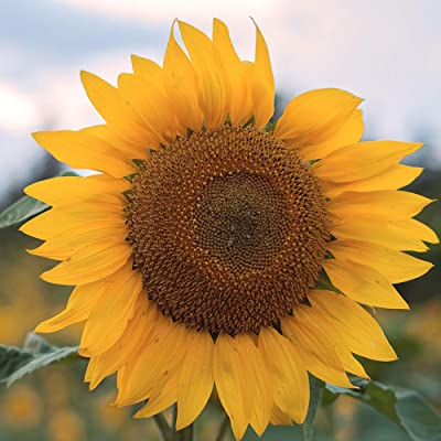 Afco Fruit Vegetable Seeds for Planting,20/50Pcs Giant Sunflower Seeds Helianthus Flower Home Garden Ornamental Plant 20pcs: Home & Kitchen