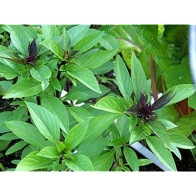 Licorice Basil Herb 500 Seeds, Thai Basil, Non-GMO, Variety Sizes : Garden & Outdoor