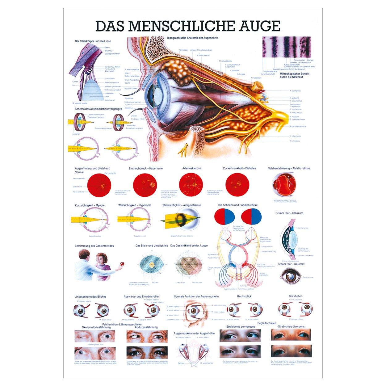 Das Auge Lehrtafel Anatomie 34x24 cm medizinische Lehrmittel: Amazon ...