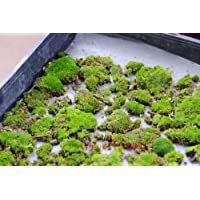 200pcs semillas musgo, semillas Sagina subulata, musgo bonsai semillas de césped decorativo, planta en maceta para el…