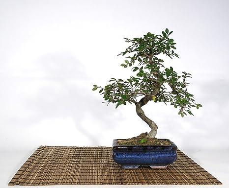 Bonsai di Olmo Cinese vaso cm. 15  Amazon.it  Giardino e giardinaggio de8f578ef9d9