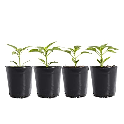 Plants by Post Jalapeno Gallon Live Spicy 6in Pepper Plants (Pack of 4), Green : Garden & Outdoor