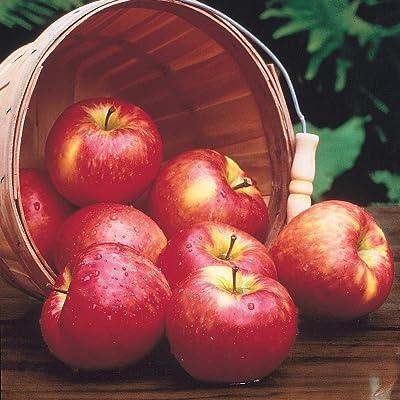 Honeycrisp Apple Fruit Tree, Live Bareroot Tree (1-Pack : Garden & Outdoor