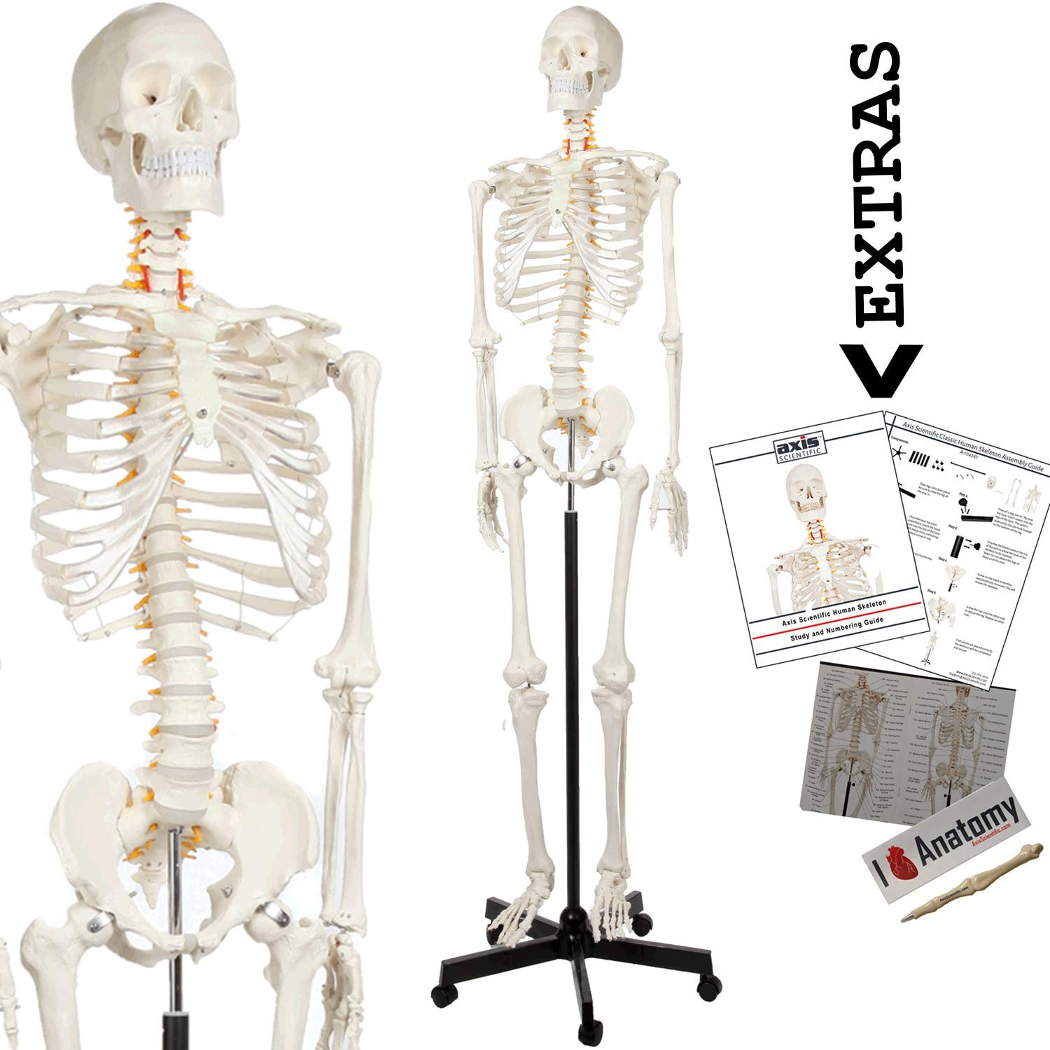 dae9cb6f361 Axis Scientific Human Skeleton Anatomy Model, 5' 6