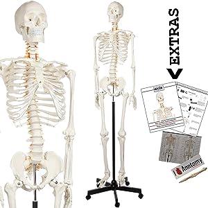 Axis Scientific Human Skeleton Model Anatomy Bundle, 5' 6