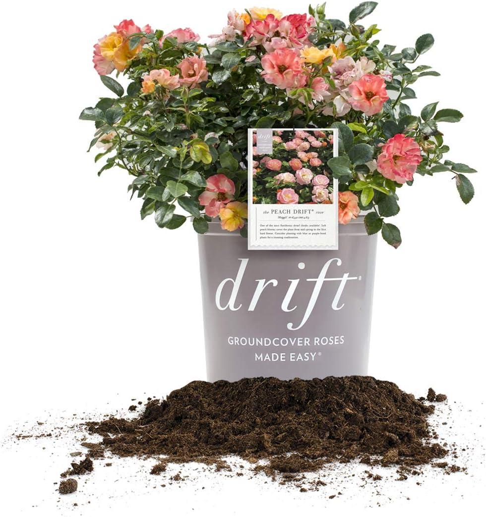 Amazon Com Perfect Plants Peach Drift Rose Live Plant 3 Gallon