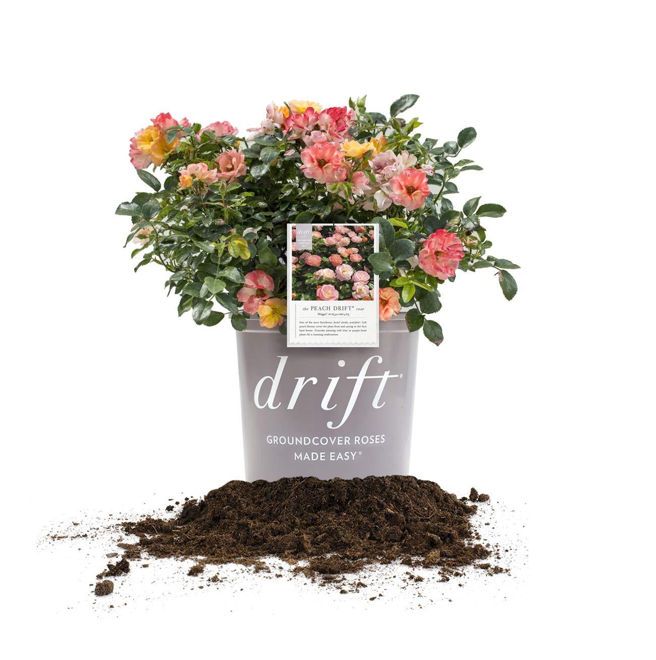 Perfect Plants Peach Drift Rose Live Plant, 3 Gallon, Includes Care Guide