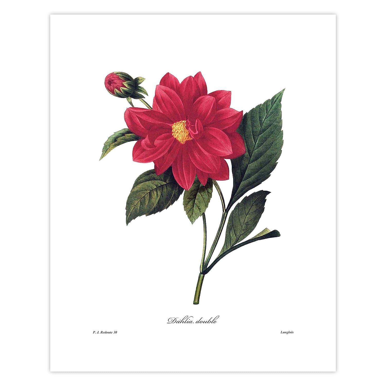 BOTANICAL PRINT ANDREWS 8x10 Botanical Art Print 20 Antique Pink Dahlia Blooming Spring Summer Garden Plant Flower to Frame
