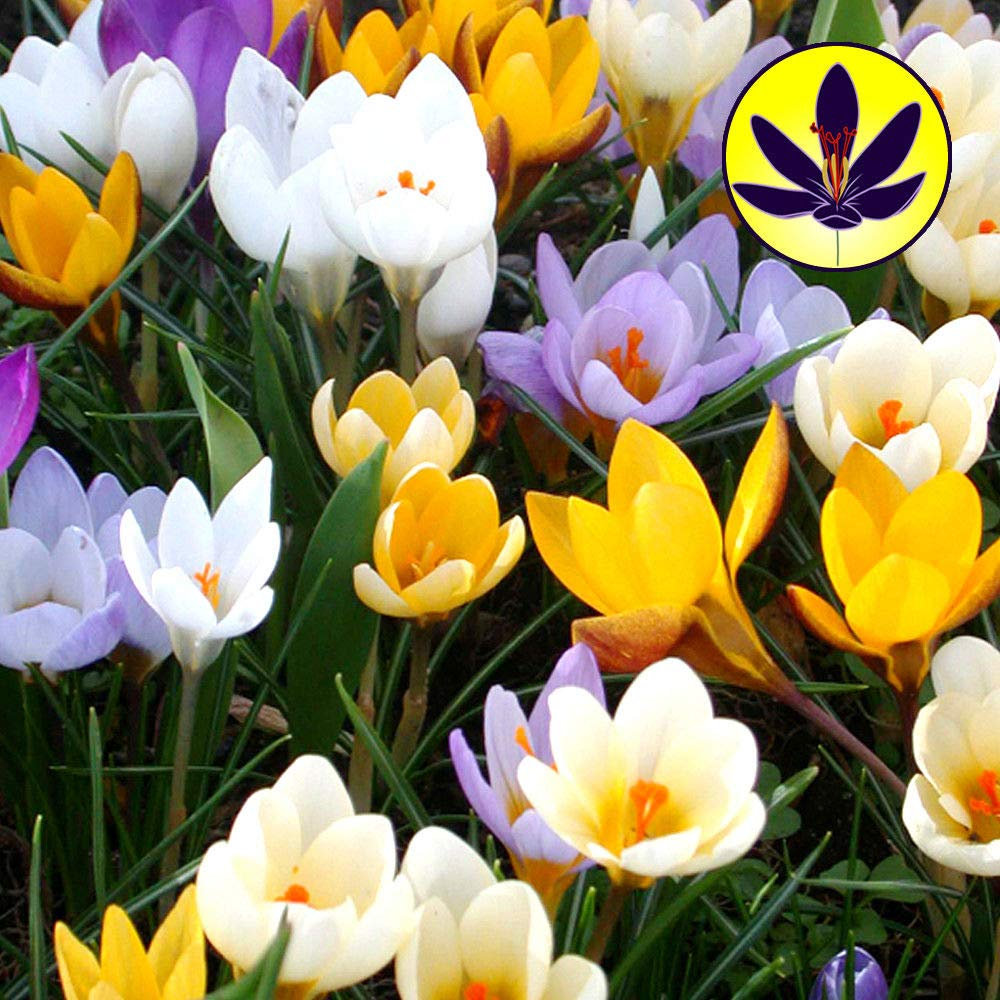 Portal Cool Seeds Crocus Species Mixed Small Flowering Dwarf Hardy Spring Flowers Bulbs Plants 50 Bulbs