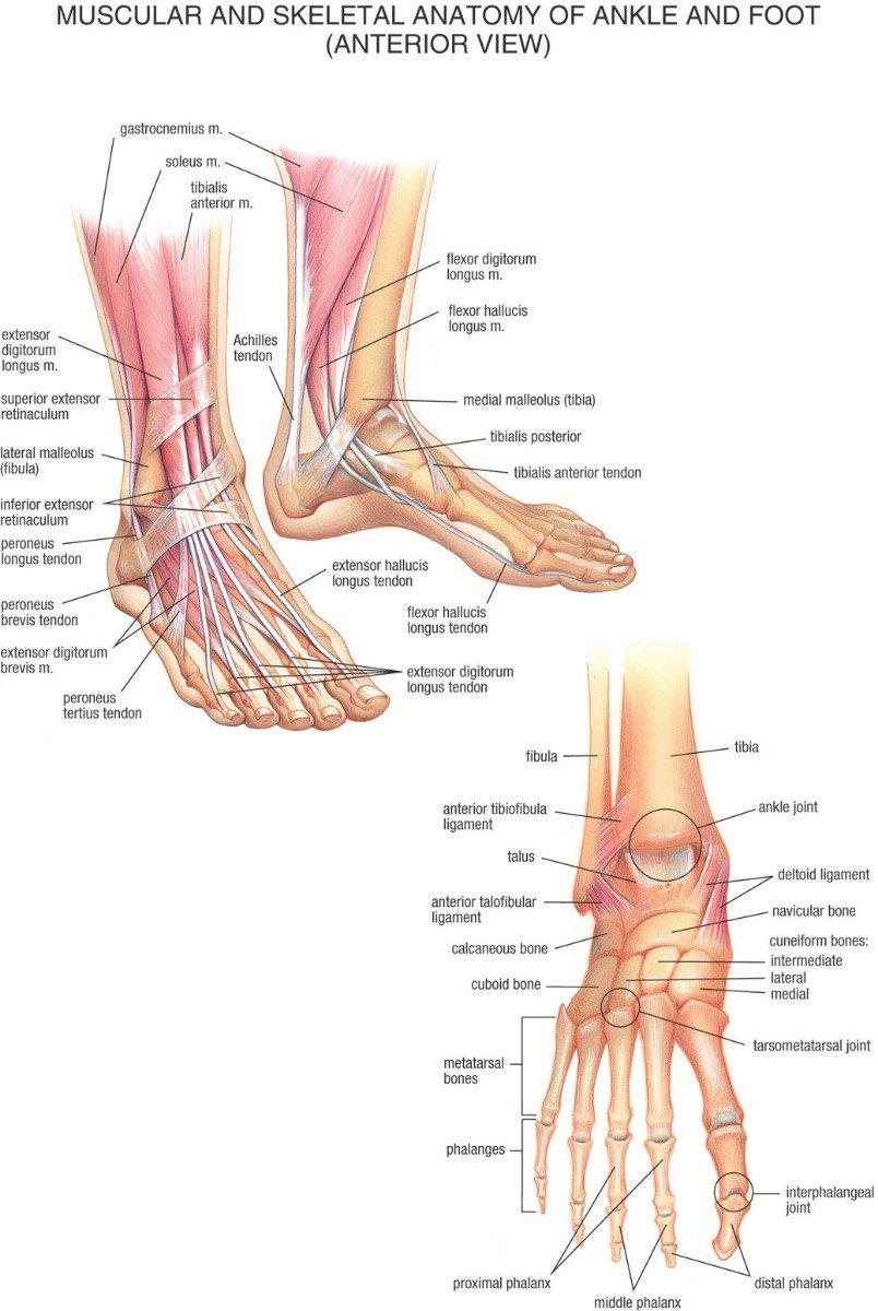 Amazon.de: Muskel- und Skelett-Anatomie der Knöchel Anterior Fuß ...