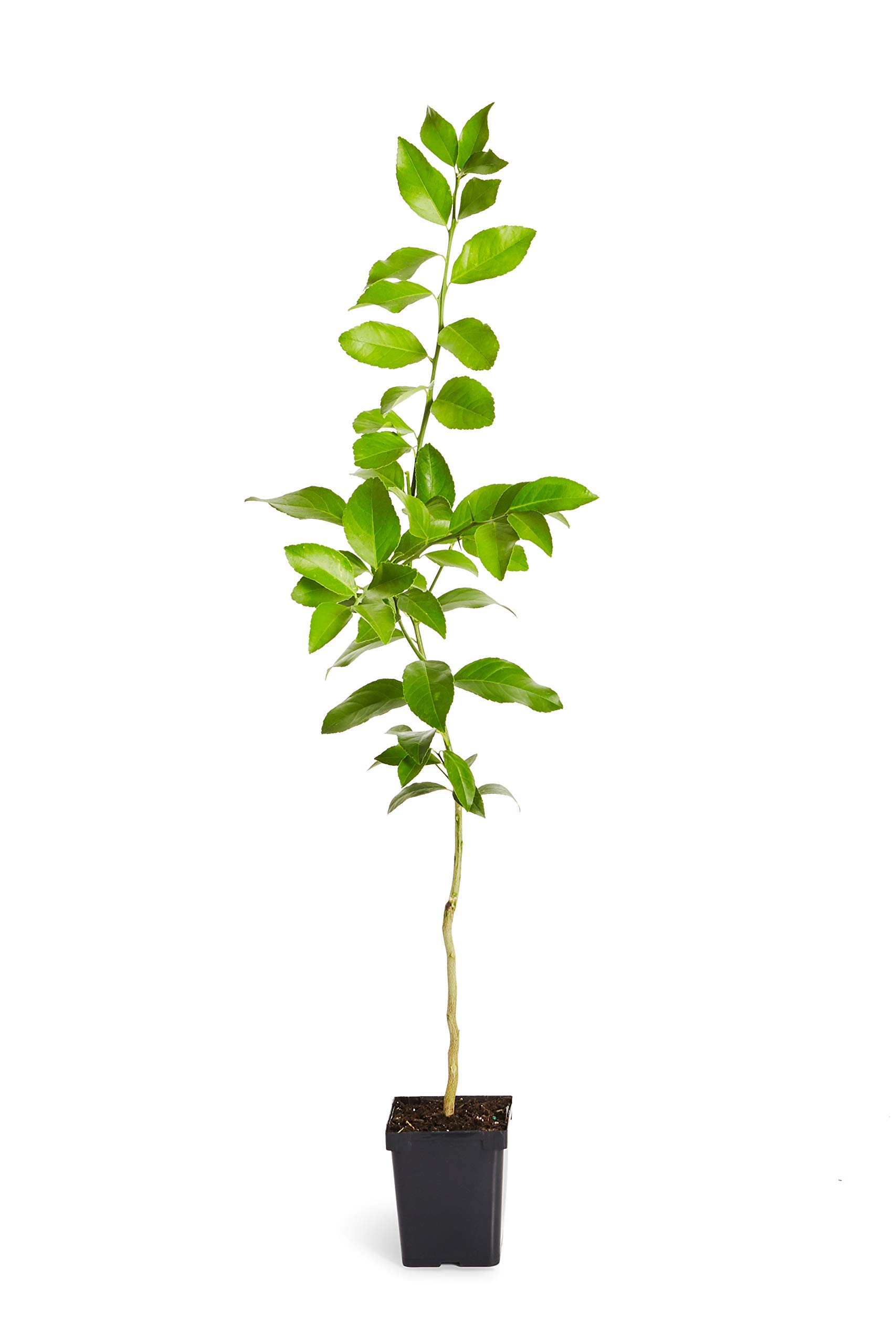 Improved Meyer Lemon Tree- Dwarf Fruit Trees - Indoor/Outdoor Live Potted Citrus Tree - 1-2 ft. - Cannot Ship to FL, CA, TX, LA or AZ