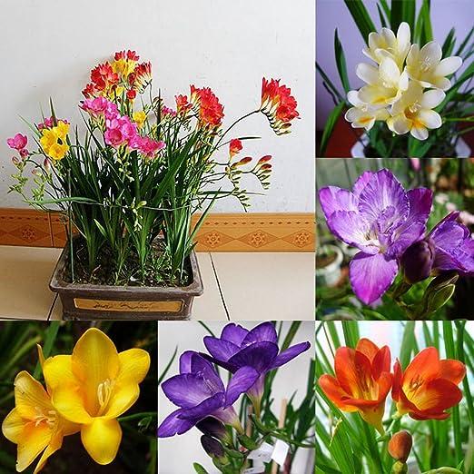 Kuizhiren1 Semillas de plantas, semillas para decoración del hogar, jardín, 100 unidades de semillas de flores perfumadas perennes de fresia perenne, bombillas de bonsái raras para interior y jardín: Amazon.es: Hogar