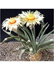 Astrophytum caput-medusae - syn: Digitostigma caput-medusae - 3 seeds