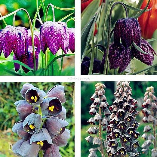 Pinkdose Chia Tai 10 g 85 semillas Yard largo b planta ...