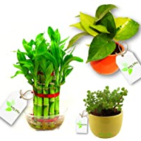 Leafy Tales Indoor Air Purifying Lucky Plants