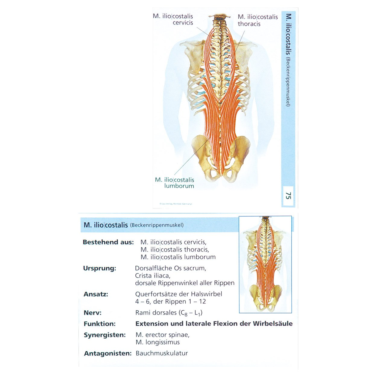 Groß Halswirbel Anatomie Bilder - Anatomie Ideen - finotti.info