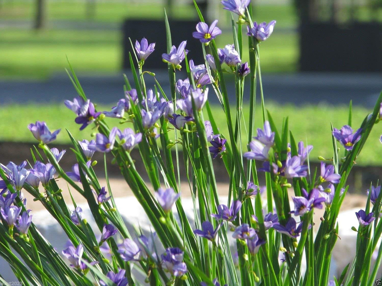 Seeds -Eyed s Plentree Seeds Package Bloom April Sisyrinchium Bellum August