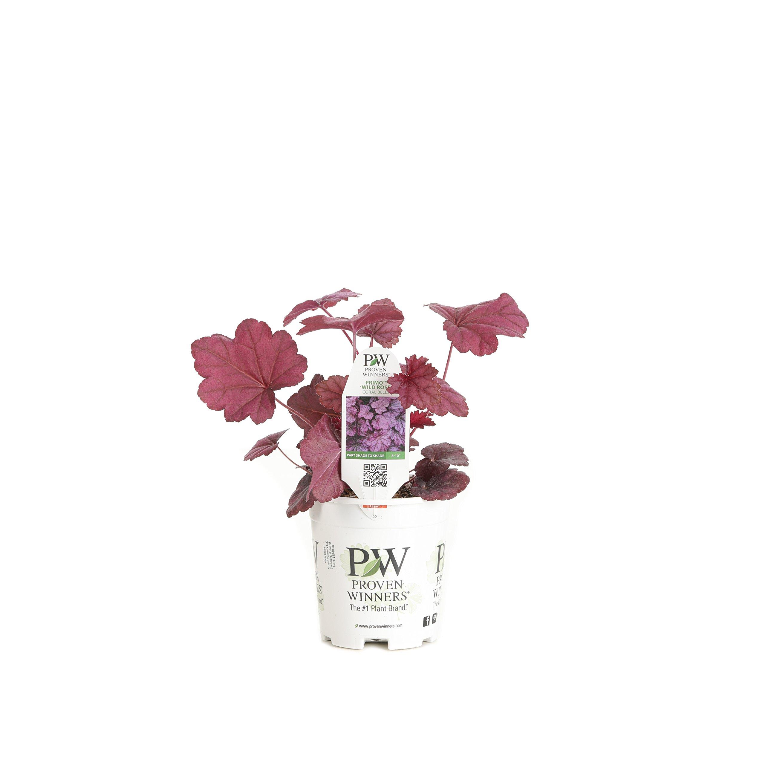 Proven Winners HEUPWP2527800 Primo Wild Rose Live Plants