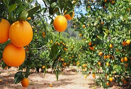 Amazon.com : OFILA Orange Garden Backdrop 7x5ft Orange Orchard ...