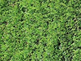 Thuja Green Giant Arborvitae (5 Potted Plants) by Thuja Green Giant Arborvitae by GreenwoodNursery.com