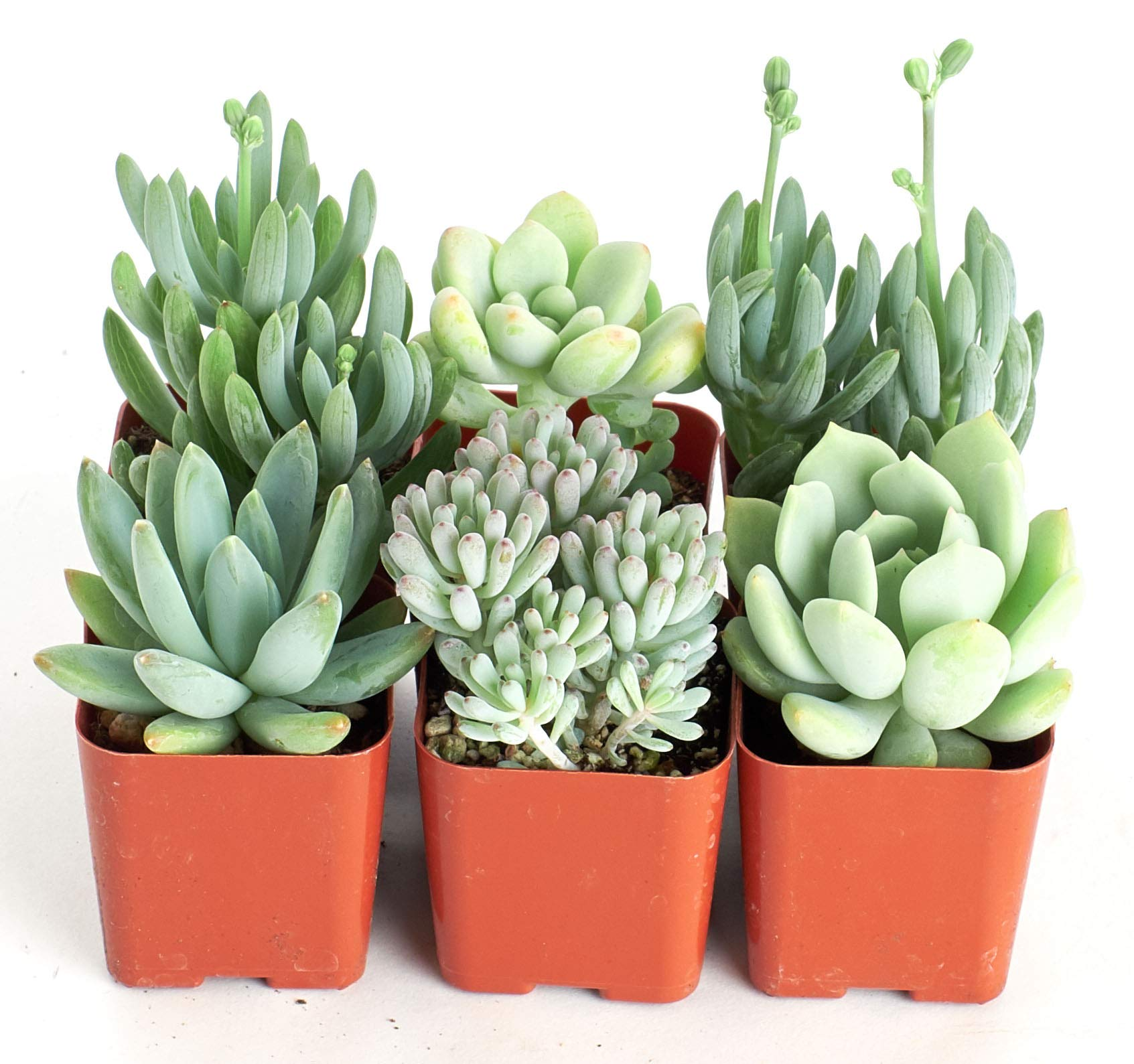 Shop Succulents   It's a Boy Blue Live Plants, Hand Selected Variety Pack of Mini Succulents     Collection of 6 in 2'' pots, 6