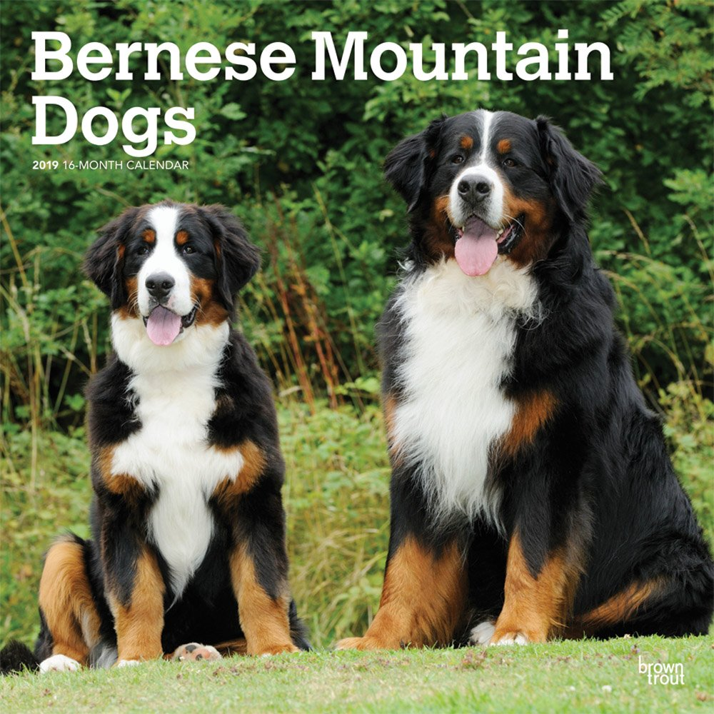 Bernese Mountain Dogs 2019 Square Wall Calendar (Multilingual) Calendar – Wall Calendar, 1 Sep 2018 BrownTrout 1975400577 Animal Care Pets