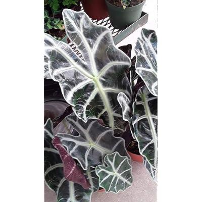 "AchmadAnam - Live Plant - Alocasia Polly Mask - 1 Plants - 8"" Tall - Ship in 6"" Pot. E9 : Garden & Outdoor"