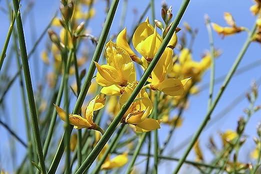 15 Semillas Spartium junceum, retama española o la escoba de ...