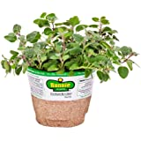 Bonnie Plants 5080 Greek Oregano Herb Plant
