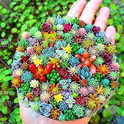 Amazon Com 100 Pcs Mini Mix Seeds Rare Succulent Seeds Flower