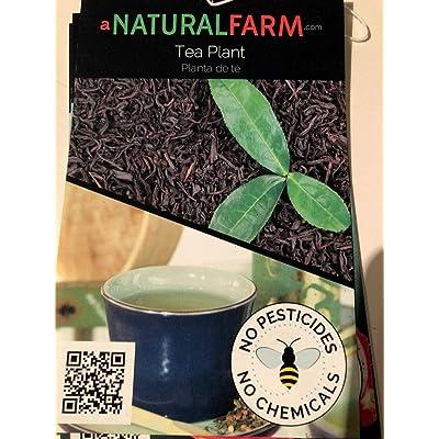 "AchmadAnam - Live Plant - Organic Tea Plant Camelia sinensis - 4"" Pot - Naturally Grown - Quality Assurance - Non-GMO - USA/Fl (No Fertilizer). E7 : Garden & Outdoor"